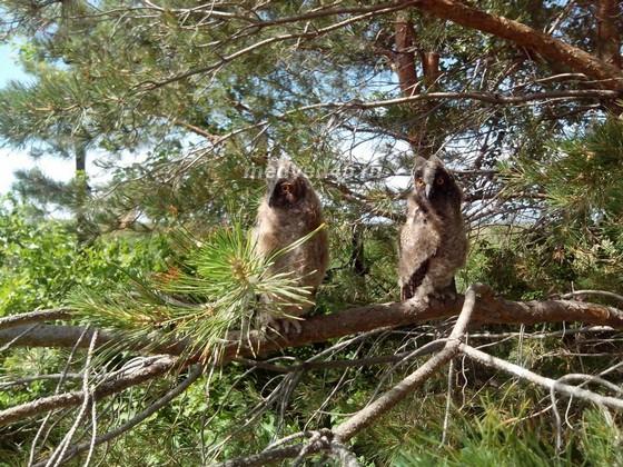 Село Новое Ильинское (Курганская область) - 018 - Птенцы совиных на одной из улиц села