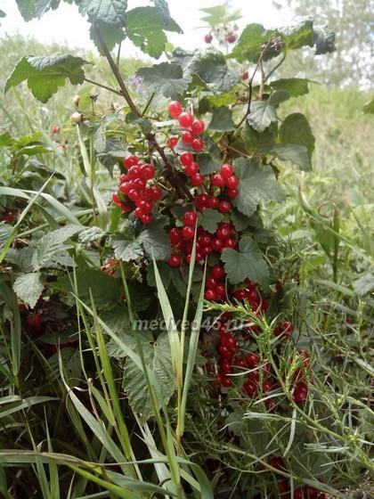 Село Новое Ильинское (Курганская область) - 022 - Красная смородина